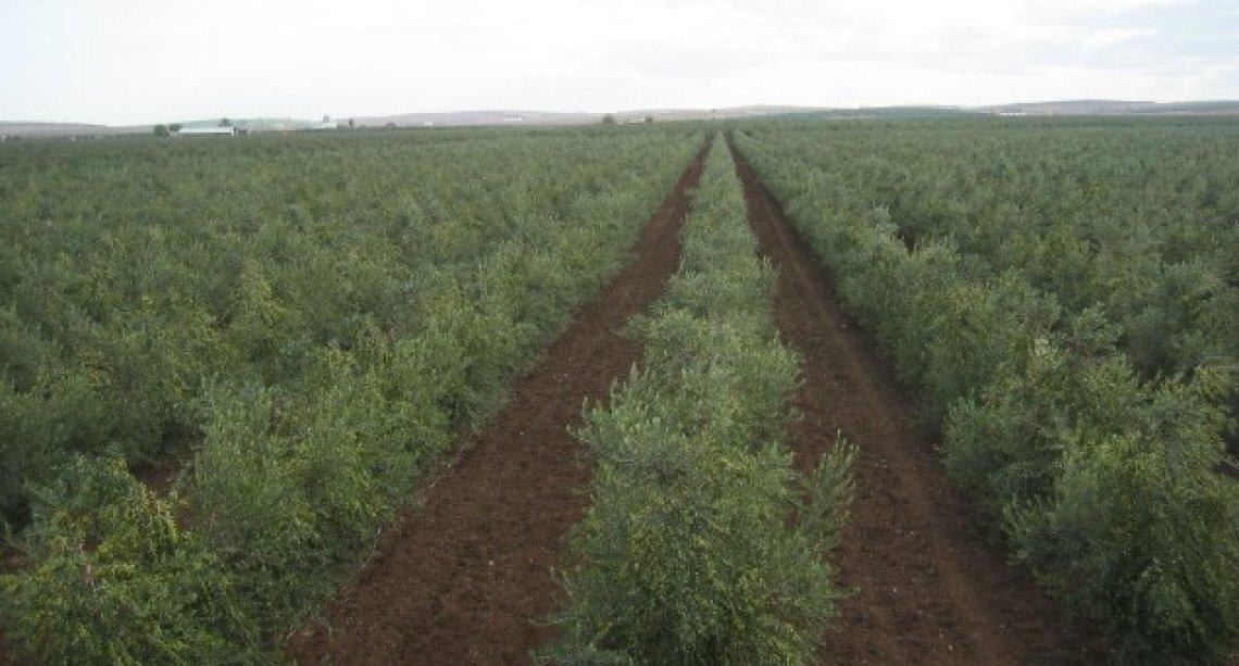 La perdita di biodiversità negli oliveti superintensivi