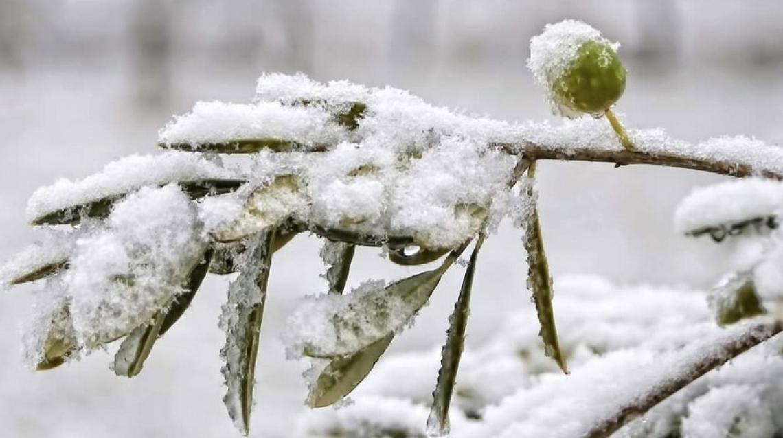 La dormienza invernale dell'olivo e le conseguenze sulla crescita vegetativa