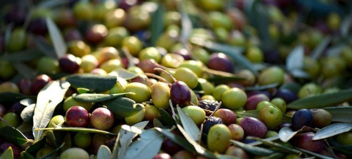 Un sistema semplice per la determinazione della maturità delle olive
