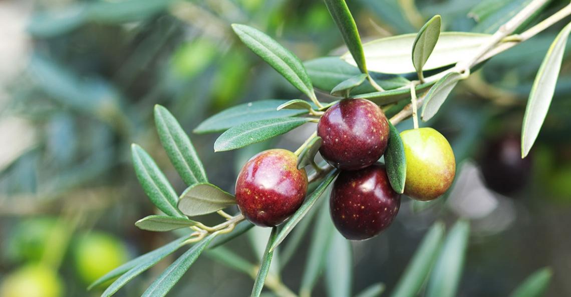 Il paradosso dell'olivo: più acqua nelle foglie grazie alla siccità