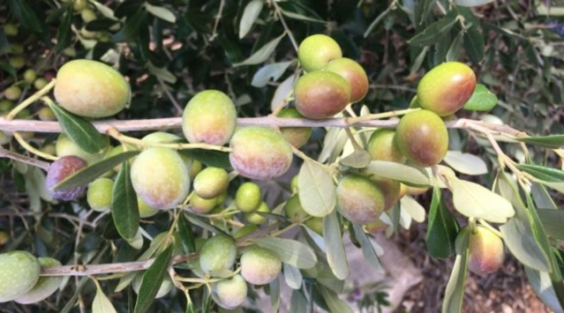 FS17 bocciata per gli oliveti superintensivi: la produzione è la metà dell'Arbequina