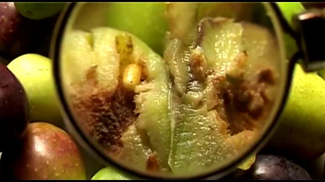 Il controllo biologico della tignola dell'olivo grazie al predatore Anthocoris nemoralis