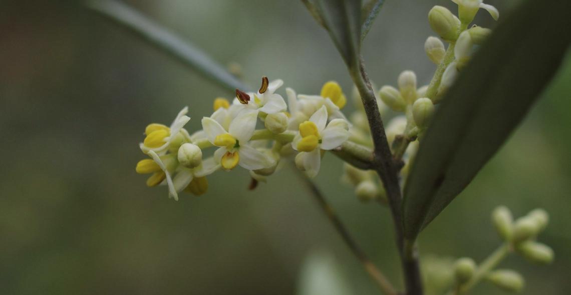 Piogge e caldo sono nemici della fioritura dell'olivo ma quali sono le soglie oltre le quali preoccuparsi?