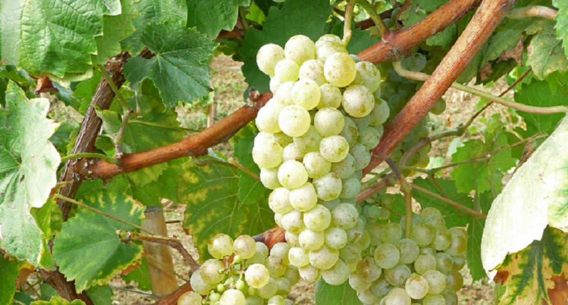 Sarà un'annata precoce per la viticoltura veneta