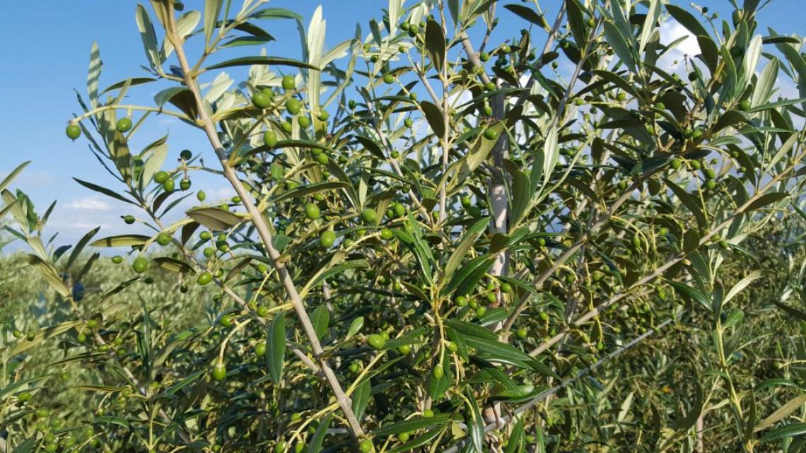 Solo l'olivicoltura biologica hobbistica è realmente sostenibile