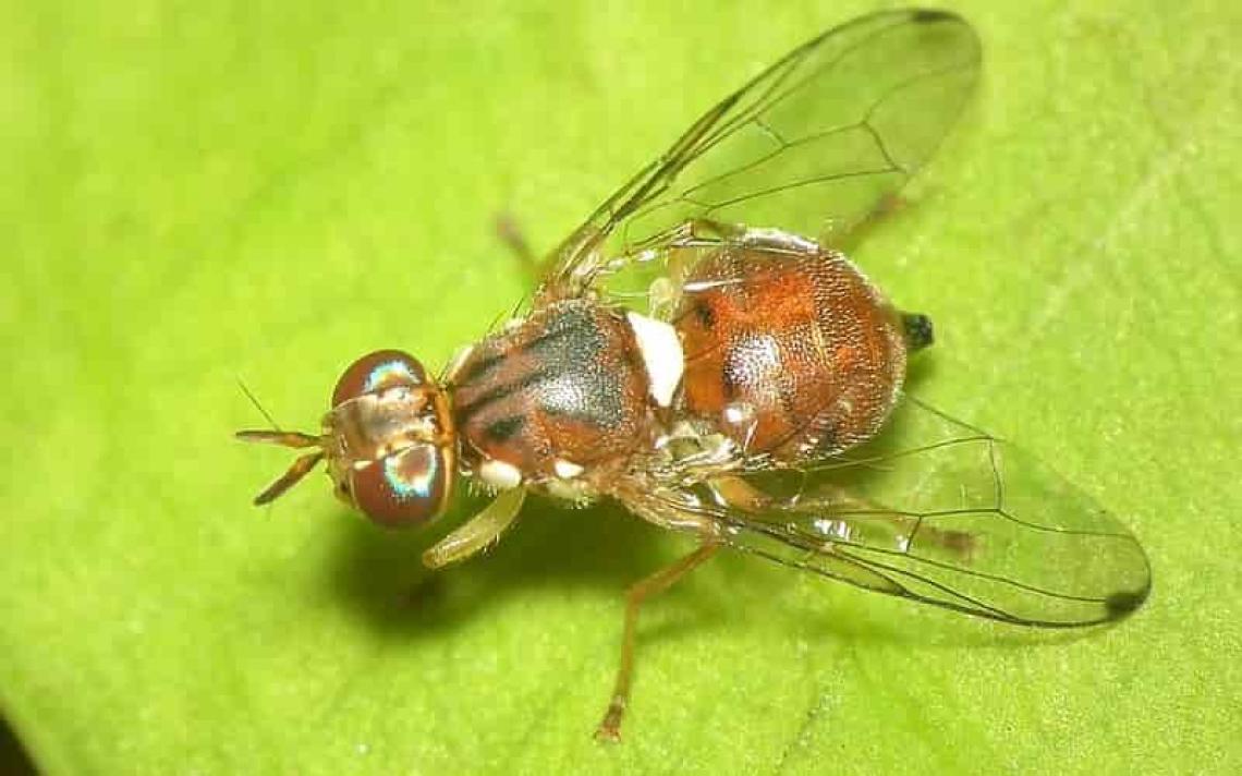 Rame e viridiolo nella lotta biologica alla mosca delle olive