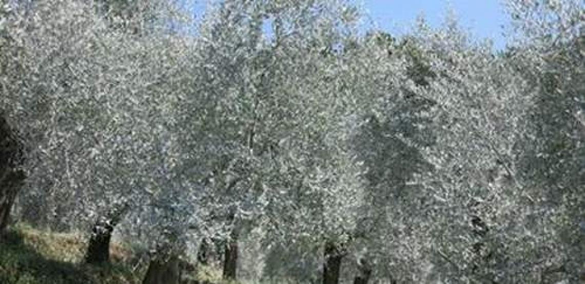 L'utilità e il lato nascosto del caolino contro la mosca delle olive