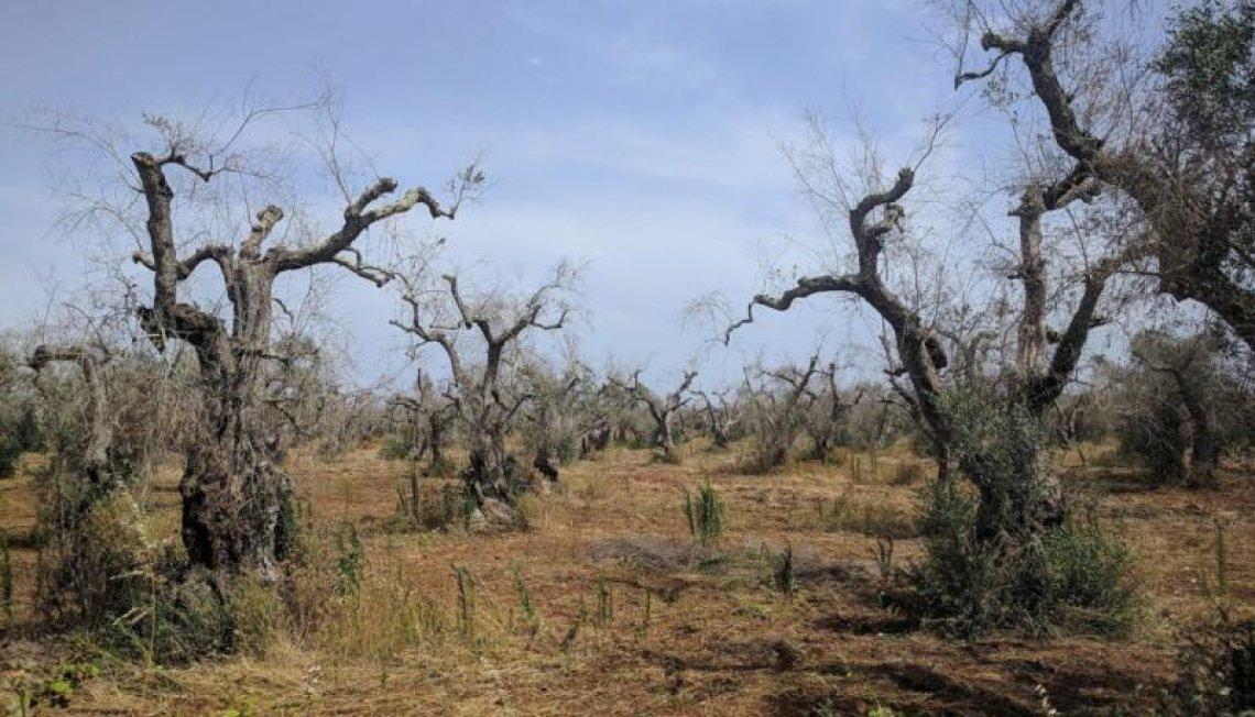 Il decreto per la rigenerazione olivicola della Puglia è in Gazzetta Ufficiale