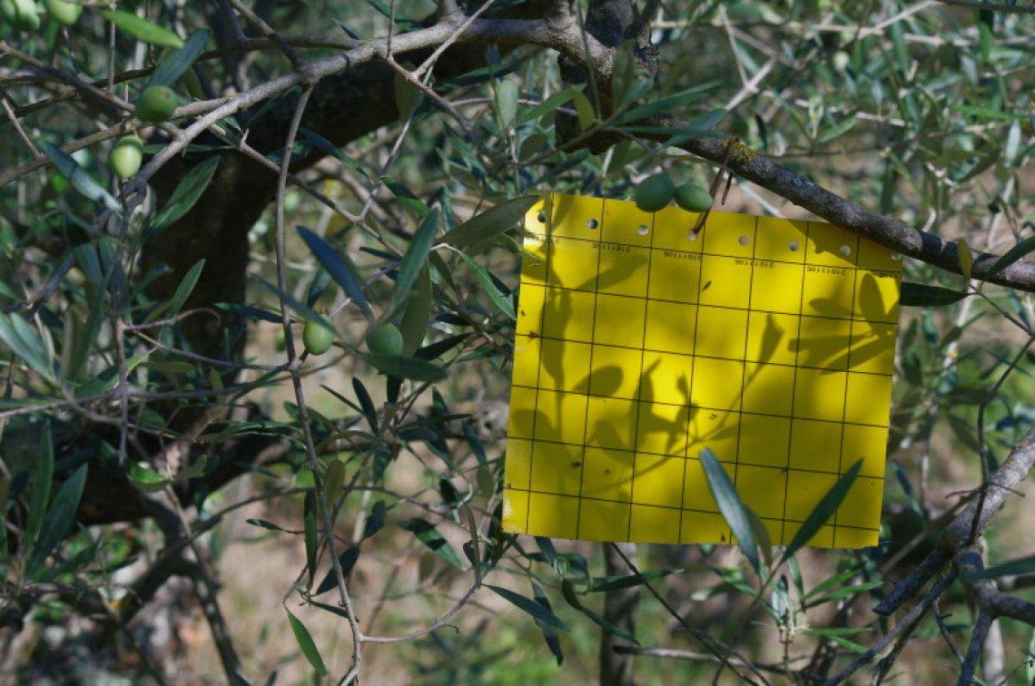 Quale è la migliore trappola per il monitoraggio della mosca delle olive?