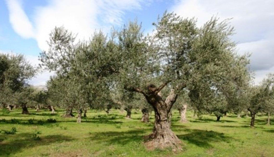 Una nuova legge per abbattimento ed espianto di olivi in Abruzzo