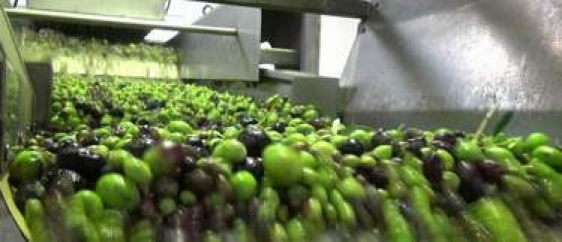 Dimezzare i residui di alcuni fitofarmaci nell'olio di oliva direttamente in frantoio
