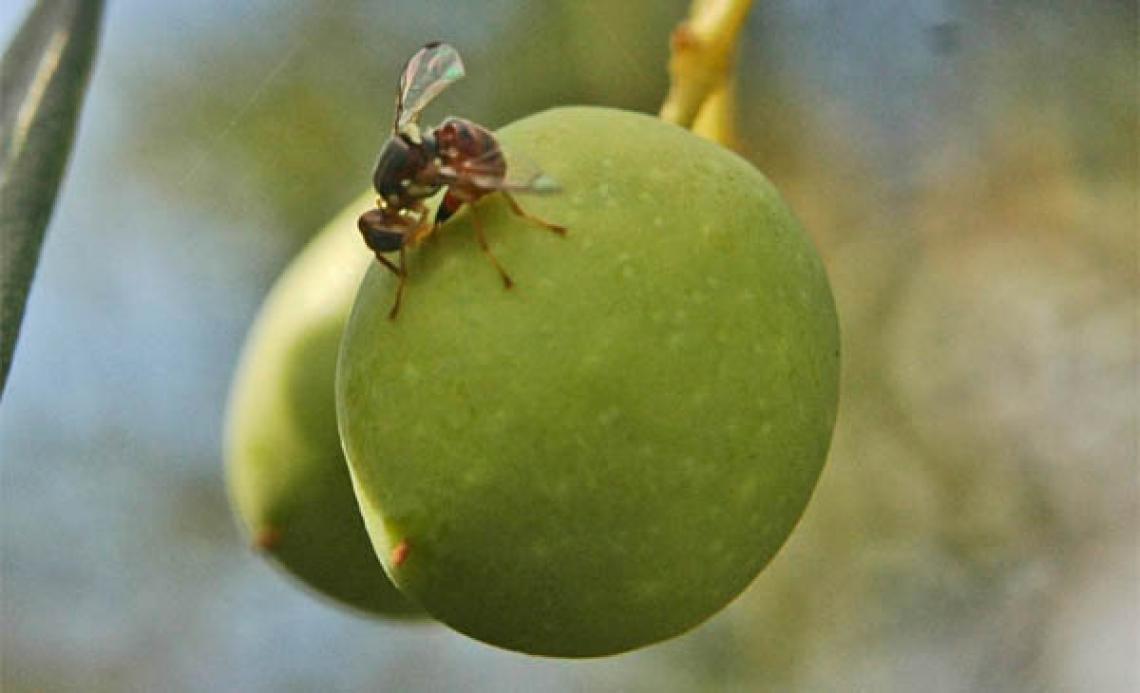 La mosca delle olive sceglie così dove ovideporre: varietà, stadio di maturazione e inolizione dell'oliva