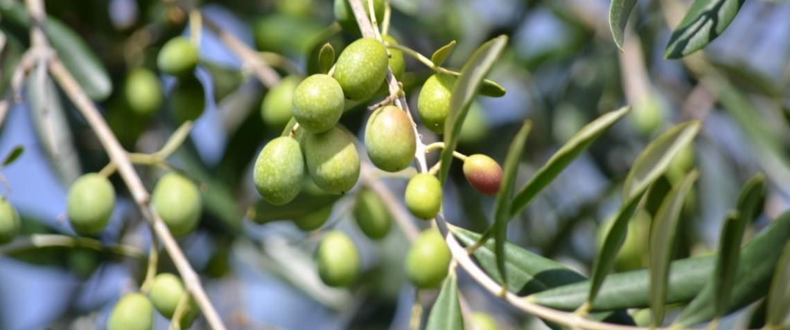 Una fotografia in chiaroscuro per l'olivicoltura italiana biologica