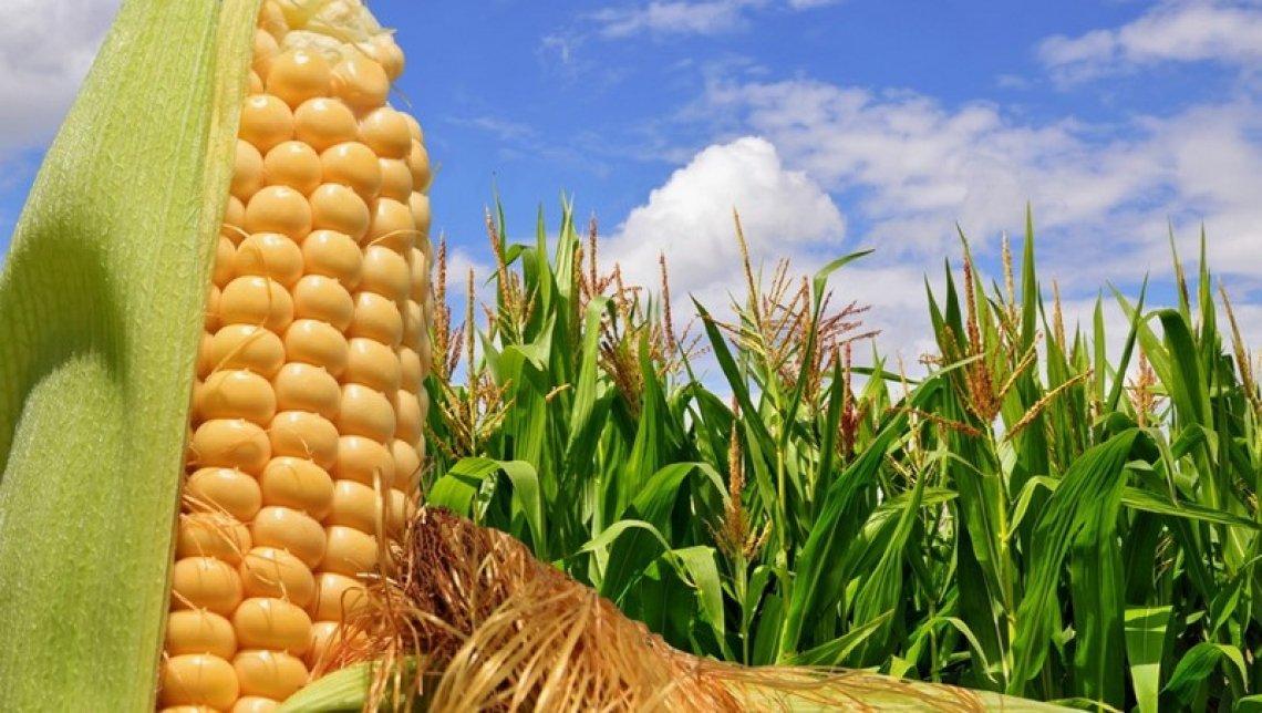 20 milioni di euro di aiuti mais, legumi e soia