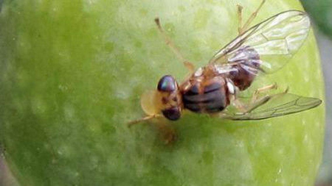 La mosca delle olive può volare fino a due ore, coprendo anche due chilometri