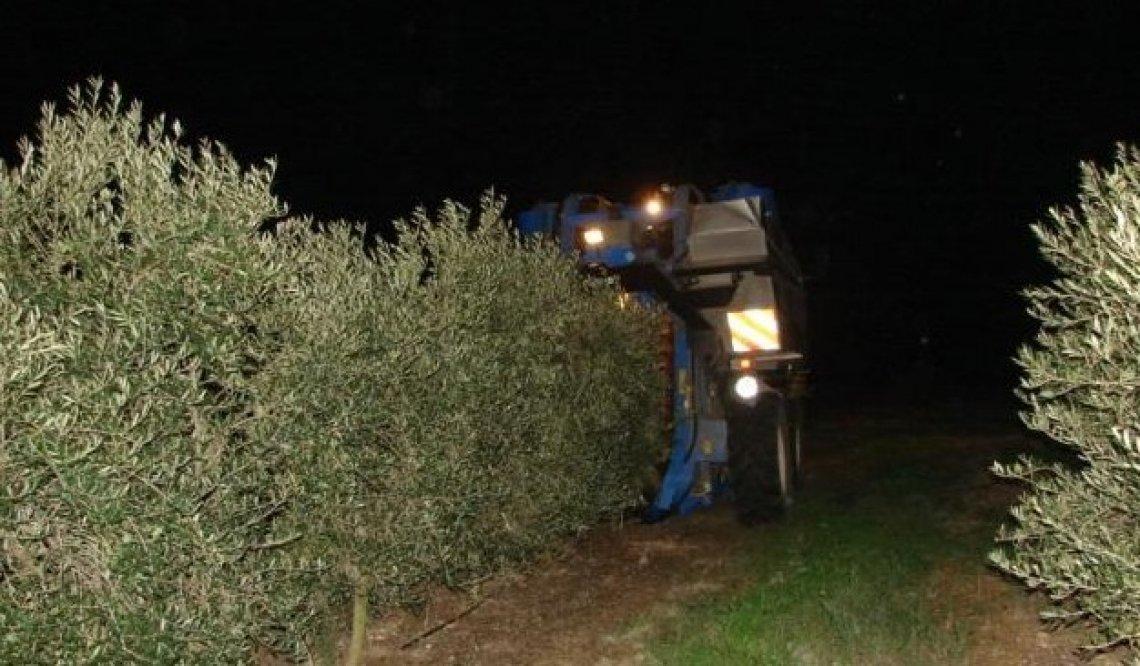 E' reato in Portogallo la raccolta continua in notturna delle olive