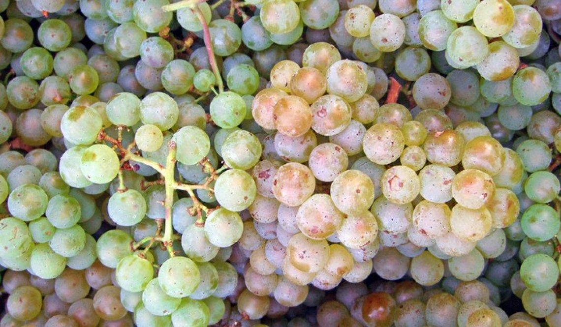 I segreti della vinificazione e dell'aromaticità del Pinot Blanc