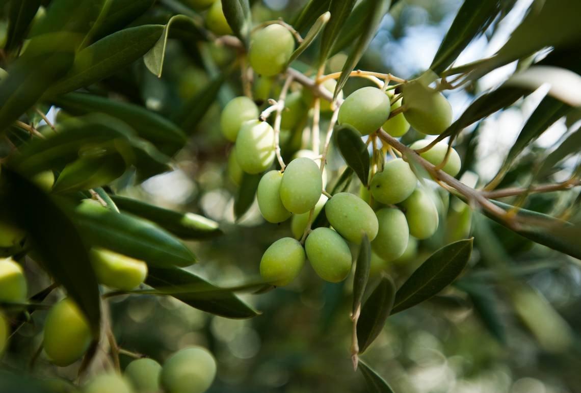 La gestione sostenibile dell'oliveto è vincente per produttività e resa in olio delle olive