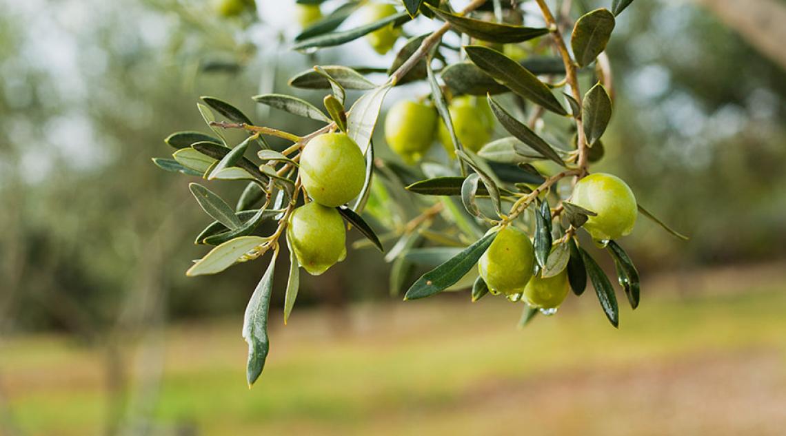 Prestiti per 140 milioni di euro per le Organizzazioni di produttori di olio d'oliva e di olive da mensa