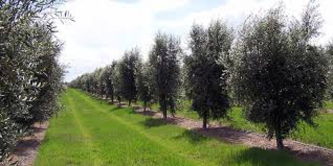 Alti costi di produzione e mancanza d'acqua frenano l'olivicoltura australiana