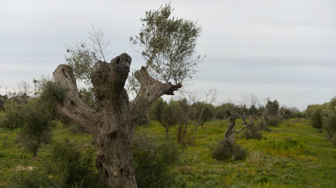 Xylella nell'area cuscinetto in Puglia ora inizia a far paura