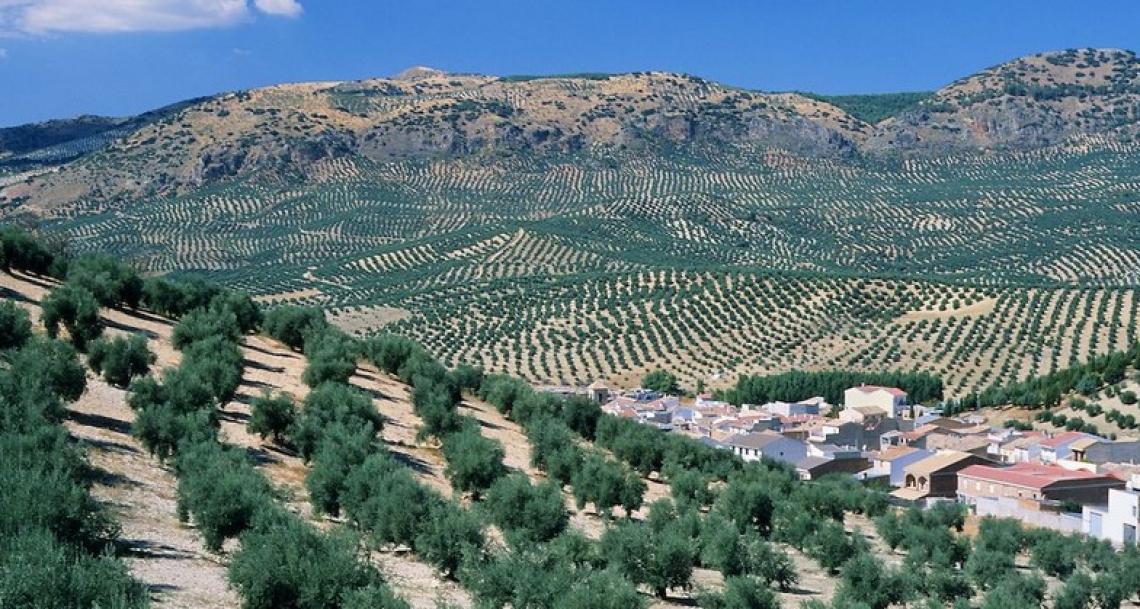 Ecco quanto costa davvero produrre un chilo di olio d'oliva in Spagna