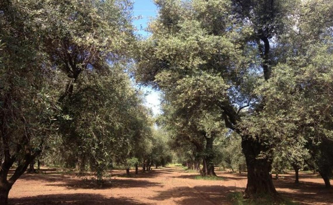 Non tutti i virus vengono per nuocere sull'olivo