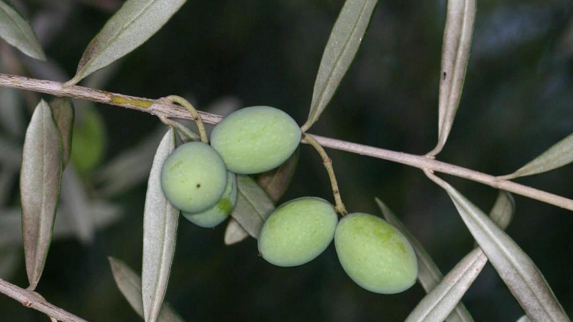L'influenza della fertilizzazione fogliare sulla qualità dell'olio extra vergine d'oliva