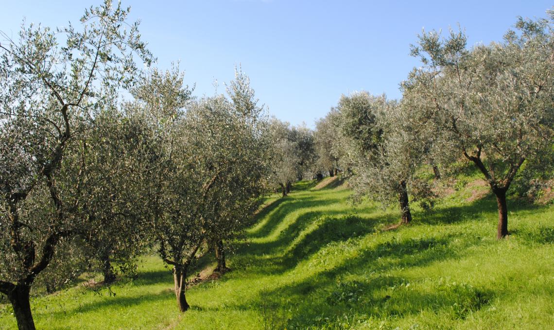 E' il letame il segreto della sostenibilità dell'olivicoltura organica