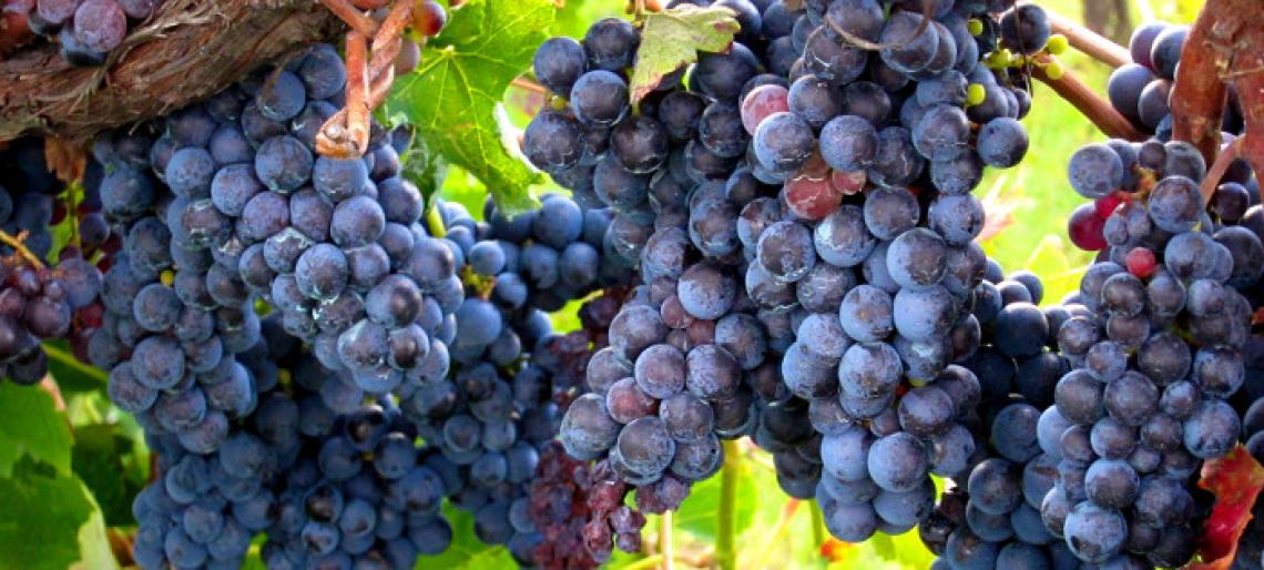 Ridurre la concentrazione zuccherina delle uve, riducendo il grado alcolico del vino naturalmente