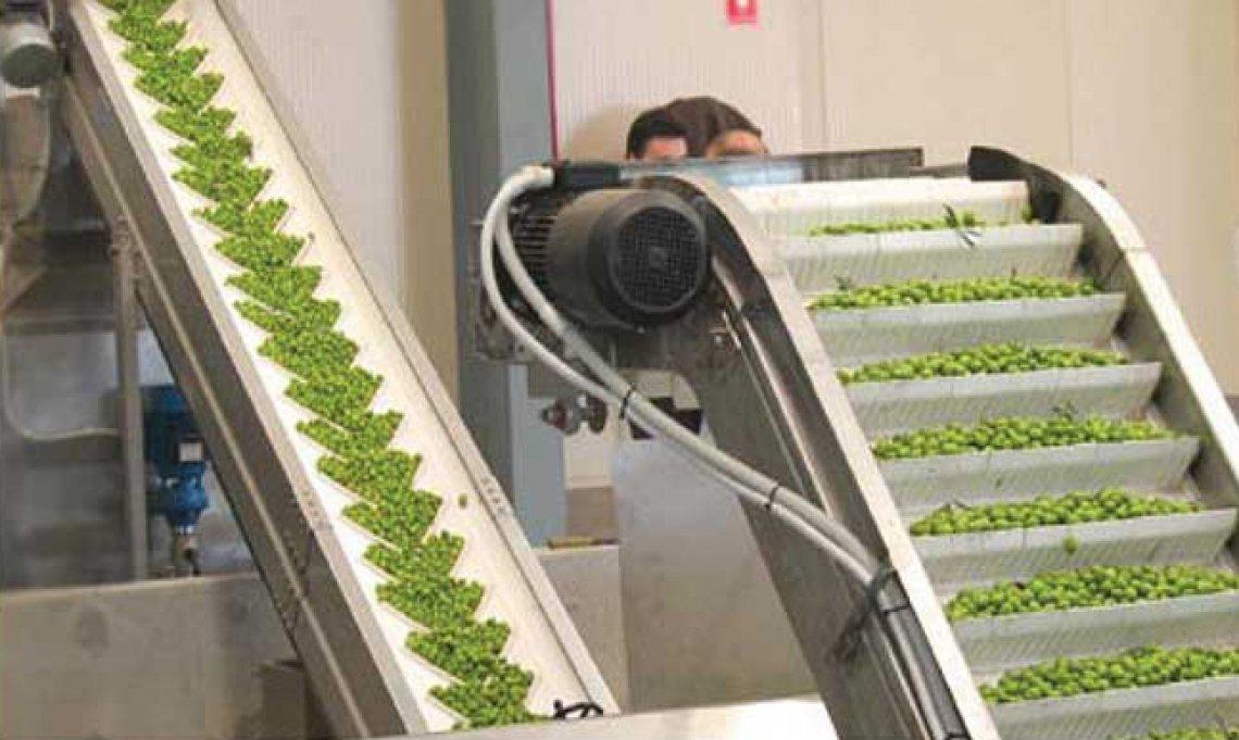 Scegliere le foglie di olivo da aggiungere in fase di frangitura per migliorare l'olio extra vergine di oliva prodotto