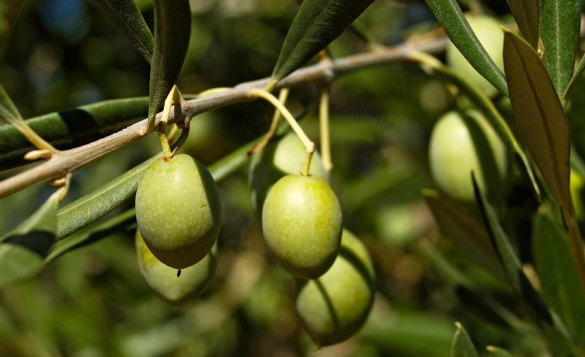 L'influenza della luce sulla maturazione delle olive