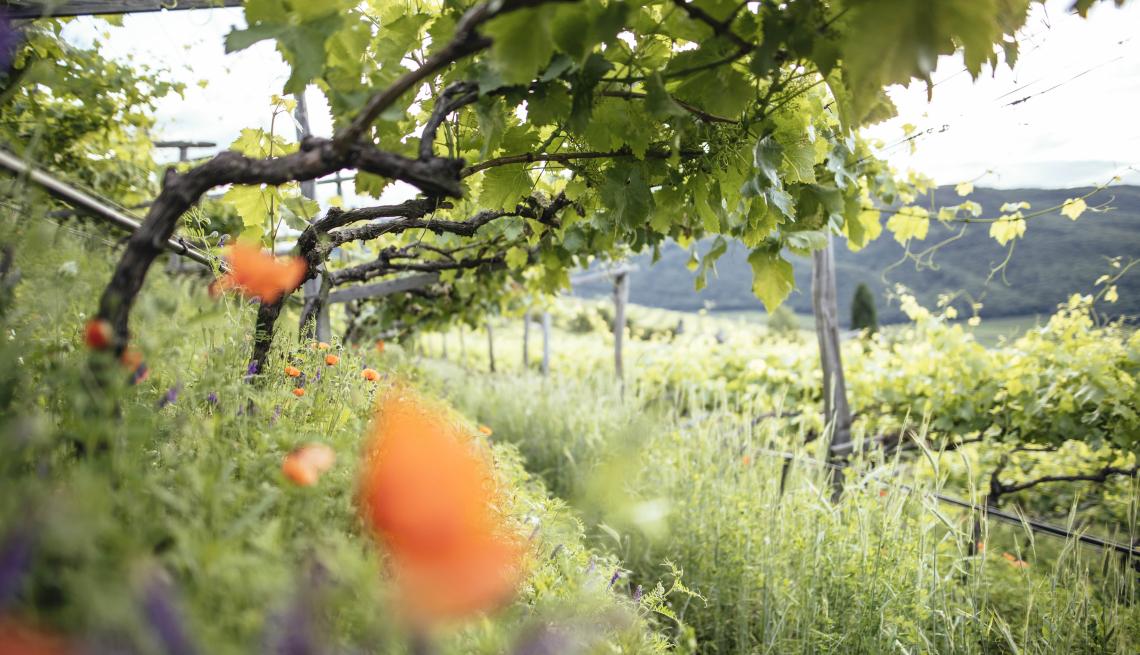 I vini dell'Alto Adige vogliono essere sempre più green e in linea con Agenda 2030