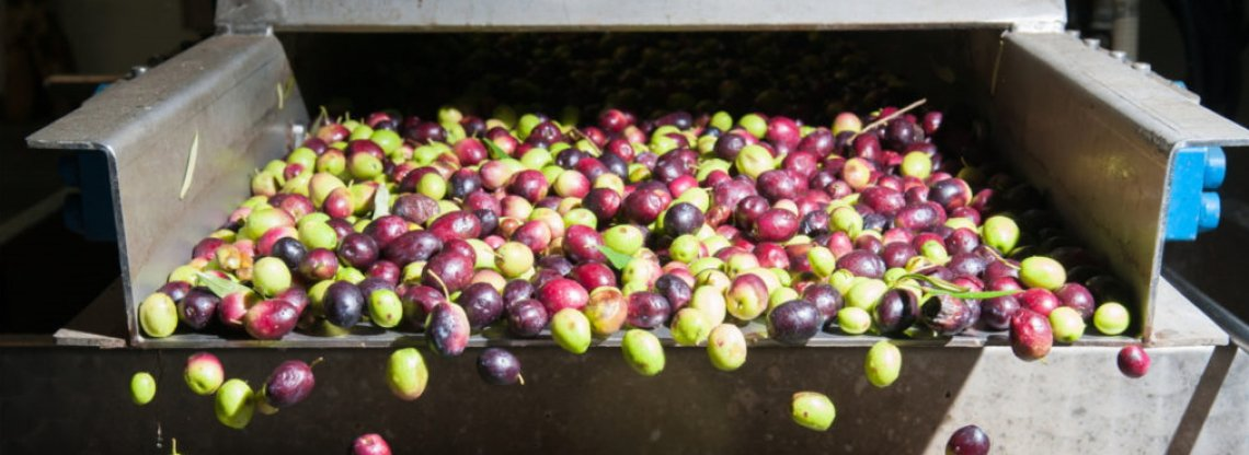 Condizioni di frangitura e tempo di gramolazione: influenza su resa e qualità dell'olio extra vergine di oliva