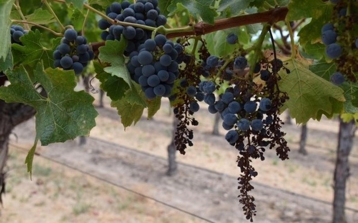Siccità e colpi di calore: occorre recuperare i vecchi vitigni