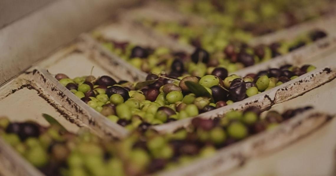 I parametri chimici e organolettici dell'olio extra vergine di oliva influenzati da temperatura di frangitura e gramolazione