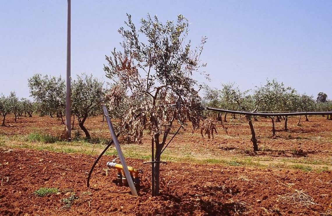 L'influenza della verticilliosi dell'olivo sulle caratteristiche aromatiche dell'olio extra vergine di oliva