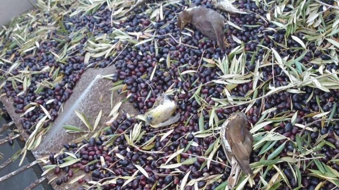 L'olio d'oliva non è più una minaccia per gli uccelli migratori