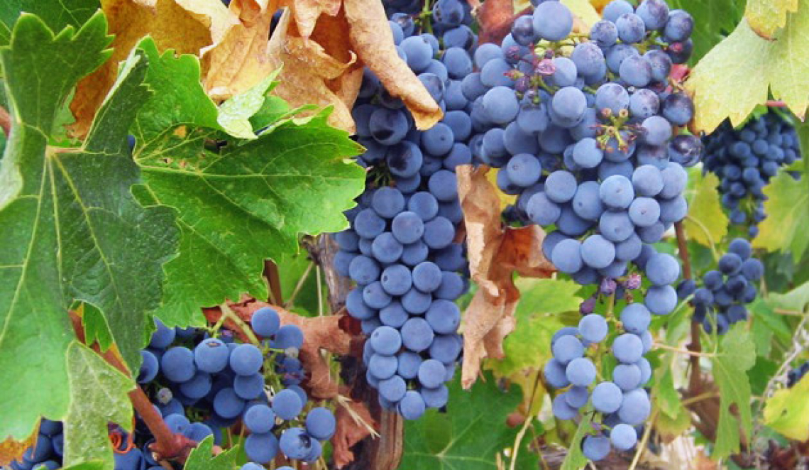 Per migliorare la produzione vitivinicola bilanciare il rapporto tra i vari formulati azotati