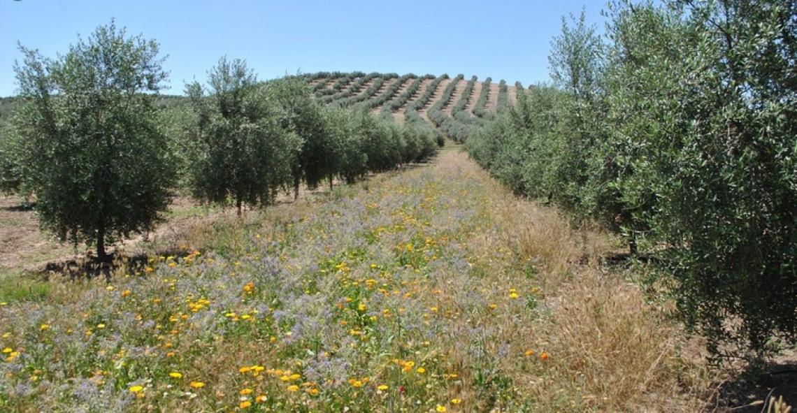 Più carbonio e azoto all'olivo grazie agli erbai di Brachypodium distachyon e Sinapis alba