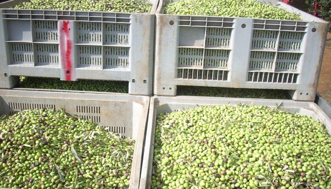 Trasporti di olive sulle lunghe distanze: quando le vibrazioni danneggiano le olive