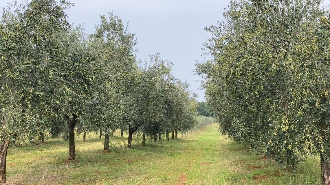 Oltre ai nuovi oliveti serve una visione e intraprendenza per l'olio di oliva italiano