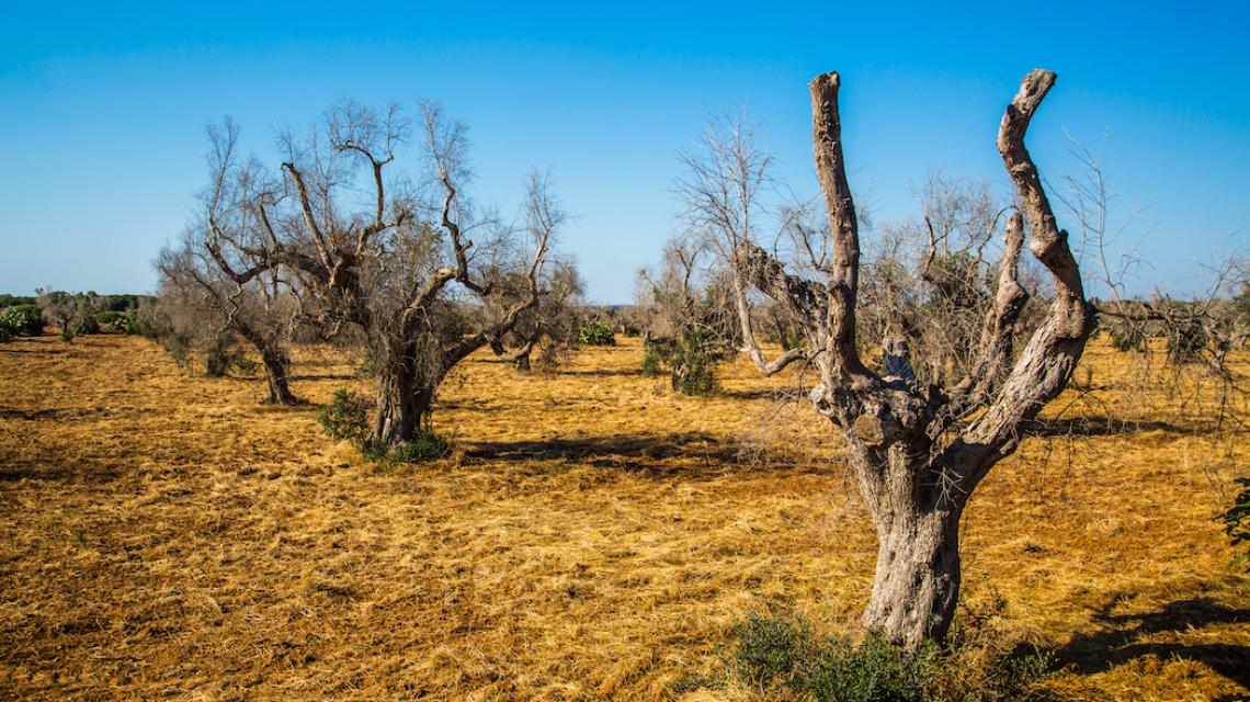 E' necessario trovare nuove varietà di olivo tolleranti e resistenti a Xylella