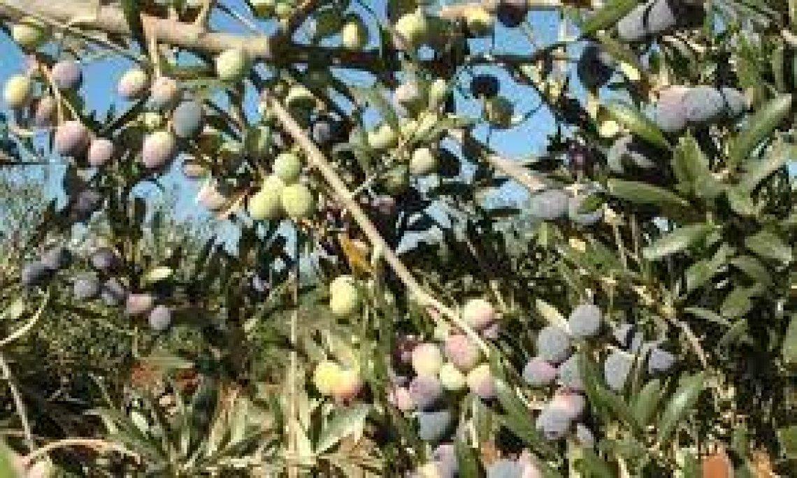 La raccolta precoce delle olive in Spagna per spuntare prezzi alti