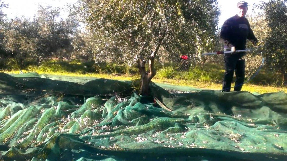 Come valutare il momento più opportuno per iniziare la raccolta delle olive