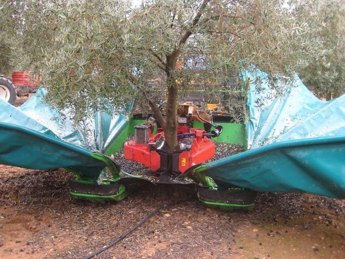 L'impatto dei diversi sistemi di raccolta delle olive sulla qualità dell'olio extra vergine d'oliva
