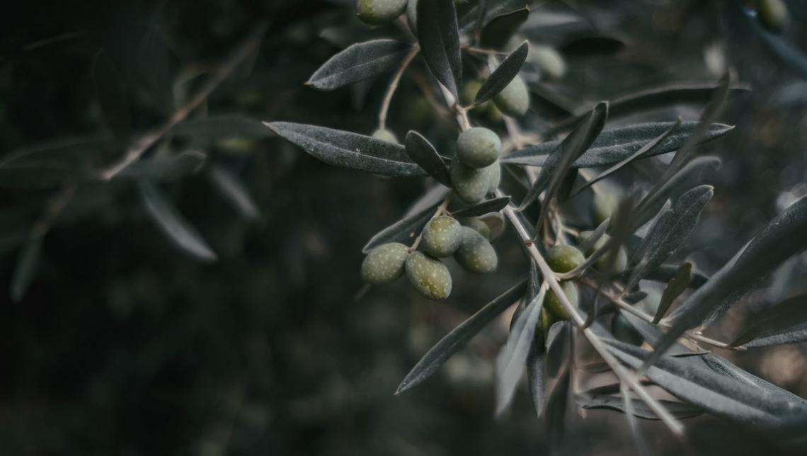Il sovescio su olivo è di scarsa utilità se non si seguono alcune regole