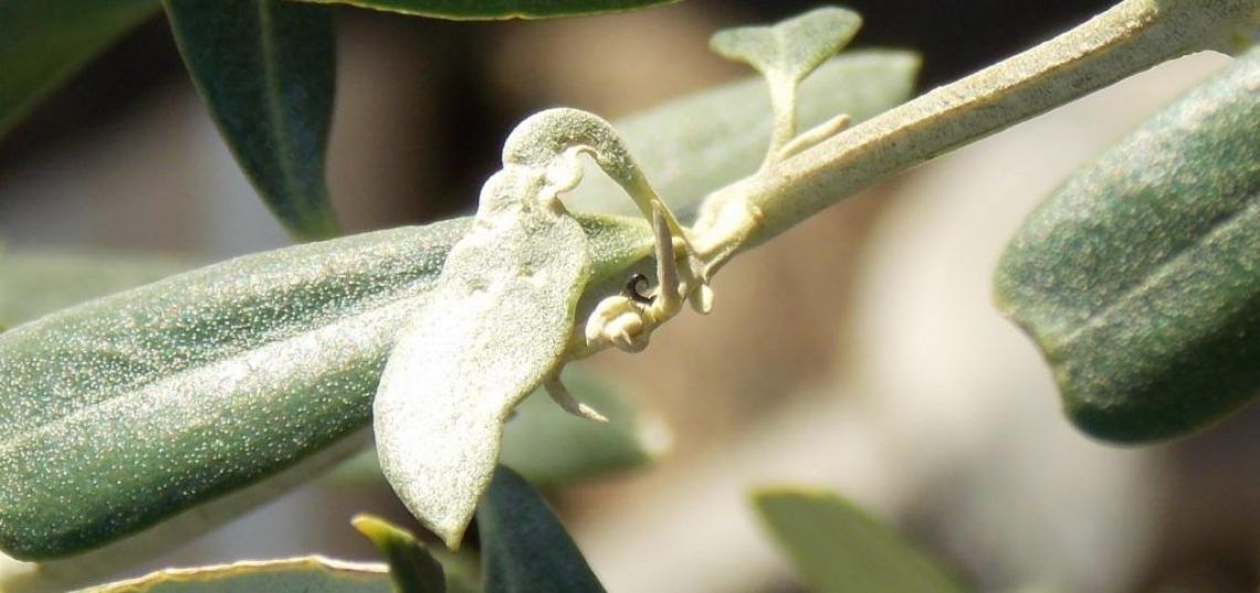 L'evoluzione del tripide dell'olivo negli areali calabresi