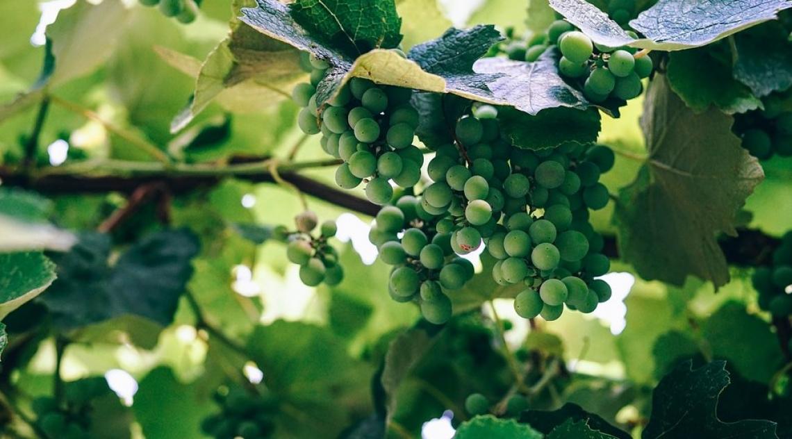 Tecniche innovative per il controllo della maturazione del Sauvignon blanc
