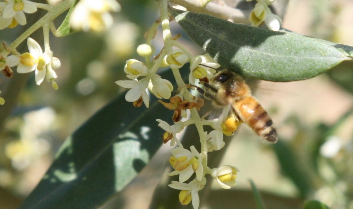 Residui di agrofarmaci su api, calabroni e olio d'oliva dopo le applicazioni contro la mosca dell'olivo